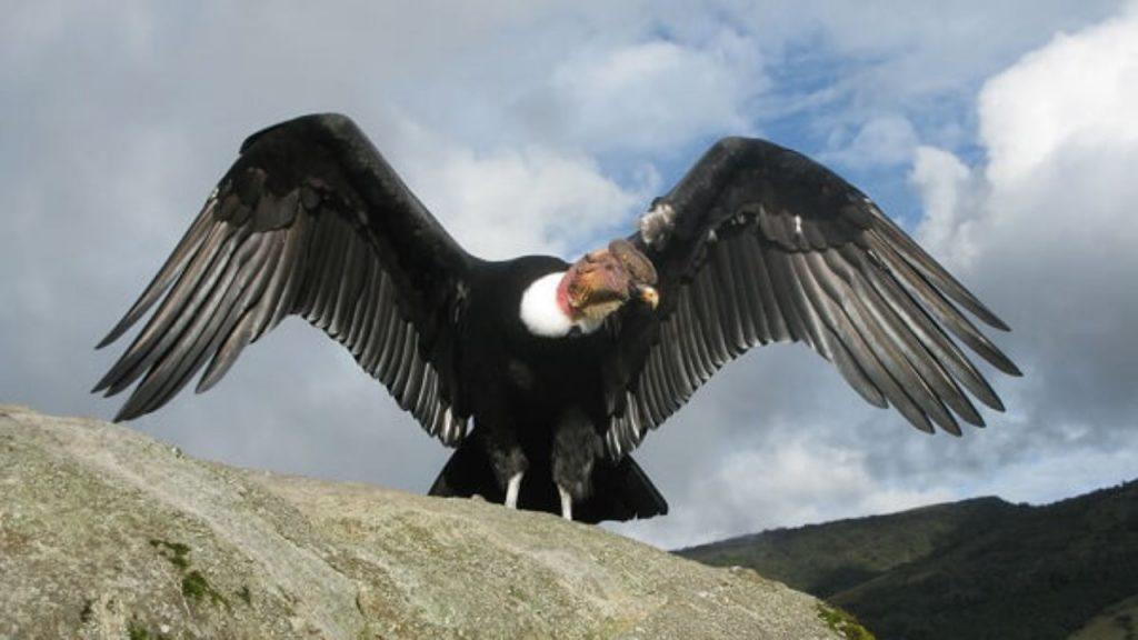 Cóndor Andino, el ave planeadora – Bitácora Revista